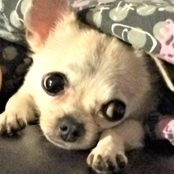 PEBBLES – Experienced Chi Owner