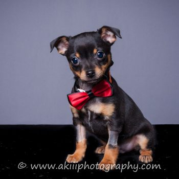 Hamlet – Puppy – Coming in February