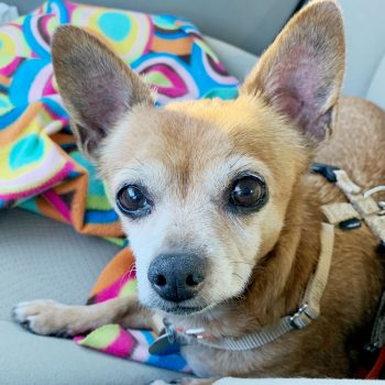 Southeast – Chihuahua Rescue & Transport