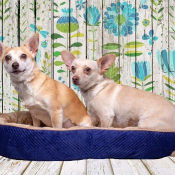Chihuahua Rescue & Transport