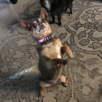 Midwest – Chihuahua Rescue & Transport