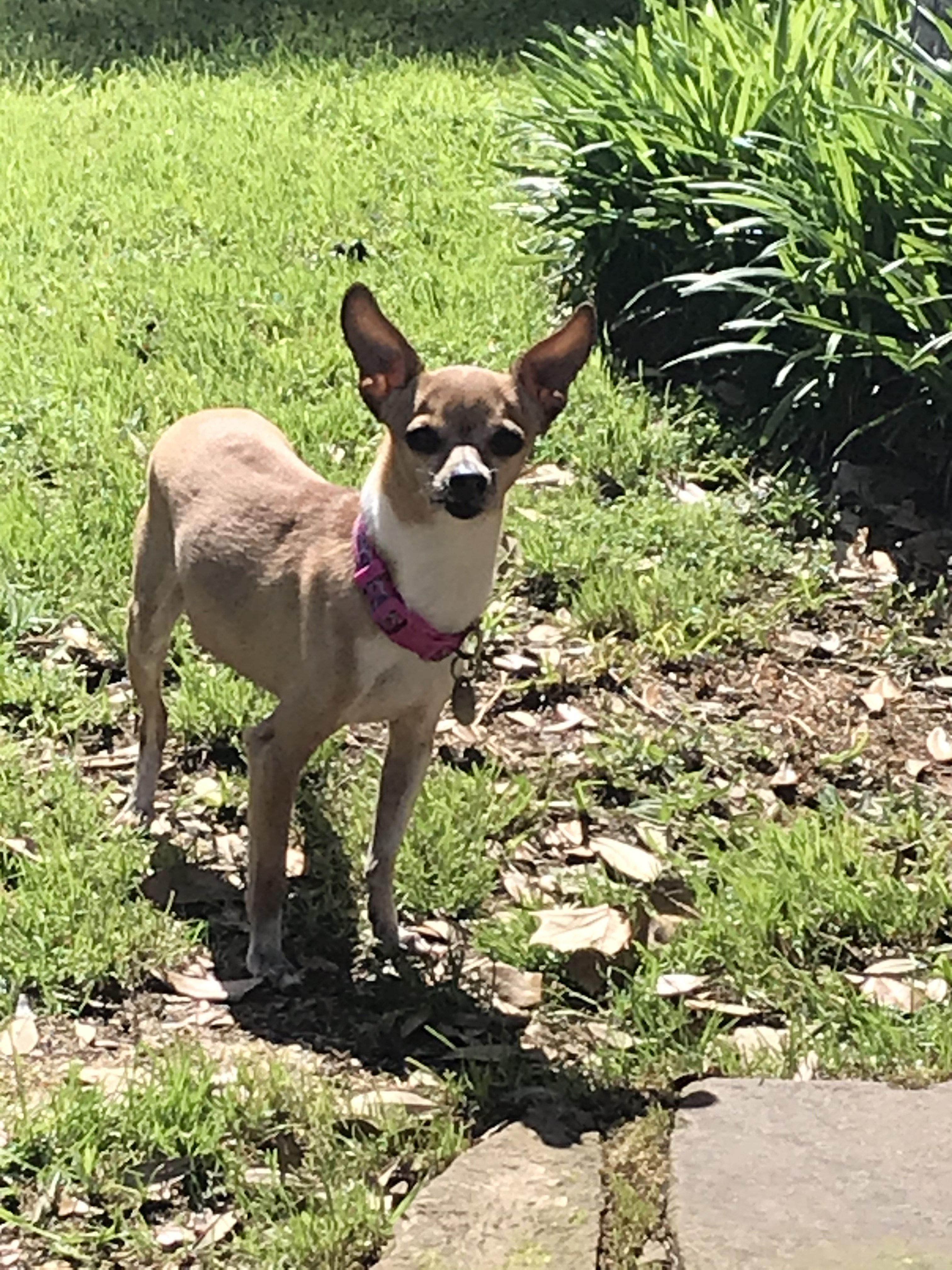 Chihuahua Rescue Transport
